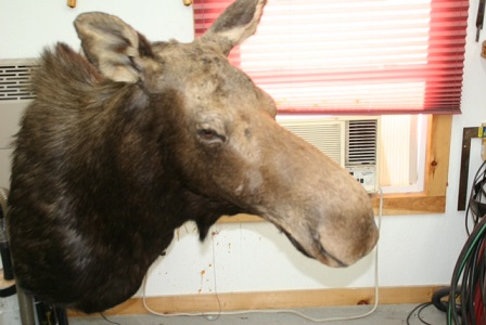 pedestal moose mount maine taxidermy