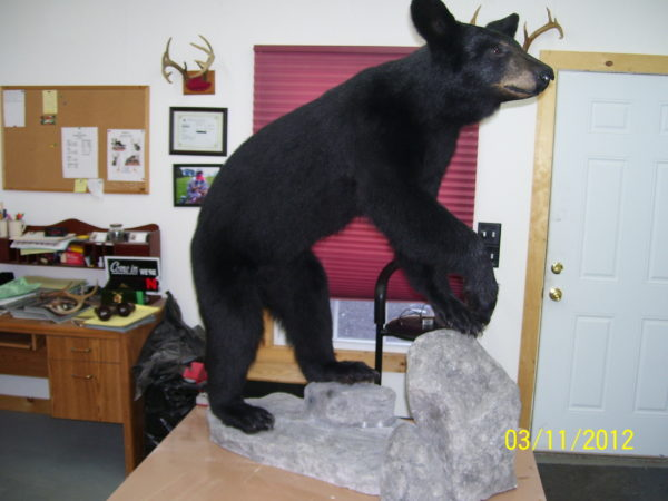 Maine Black Bear Full Taxidermy Mount