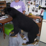 Maine Black Bear Full Taxidermy Mount  2