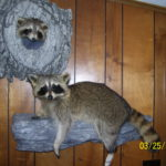 Raccoon Mount