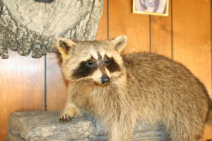 Racoon Mount - Small Mammal