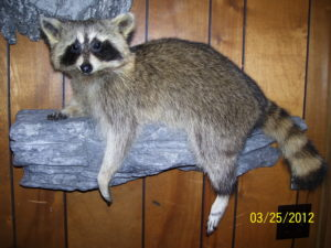 small mammal raccoon mount